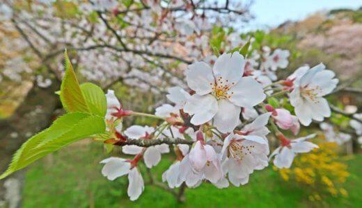 三渓園の満開の桜、団子でお花見【2019年】